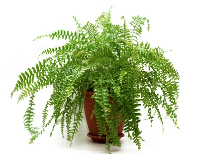 best-potted-planst-for-patio-ferns